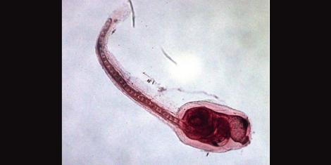 tunicate larva1