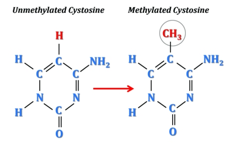 methylated_cytosine