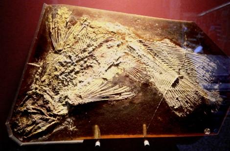 Coelecanth