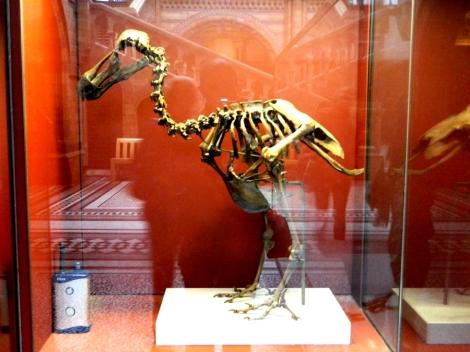 Dodo_Skeleton