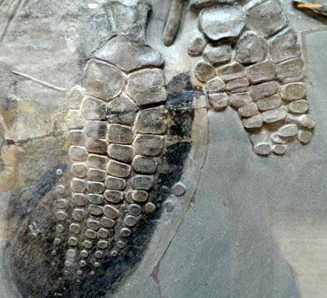 Ichthyosaurus_fin