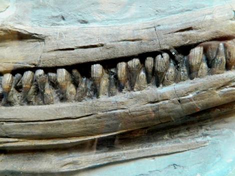 Ichthyosaurus_jaw