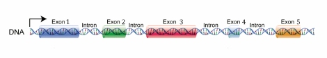 DNA_exons_introns