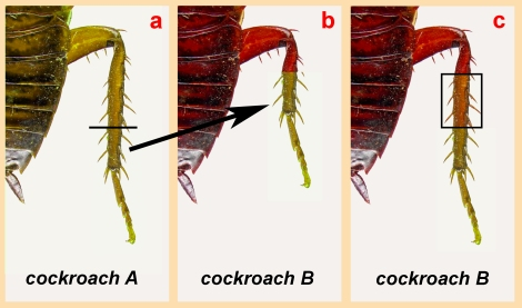 cockroach_illustration