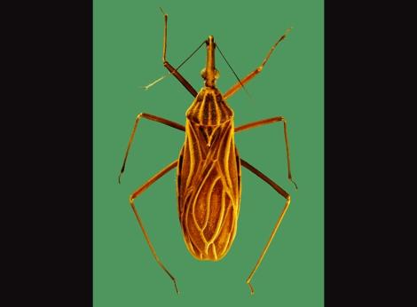 rhodinus
