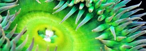 sea-anemone-smal