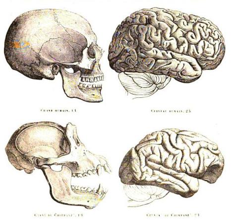 Man&chimpbrains