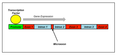 Microexon_illustration