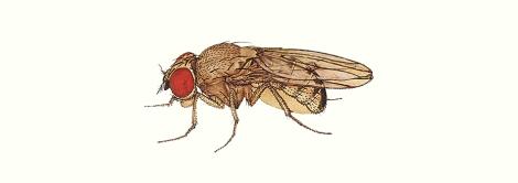 Drosophila_immigrans