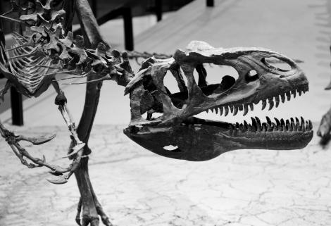 Allosaurus_fragilis