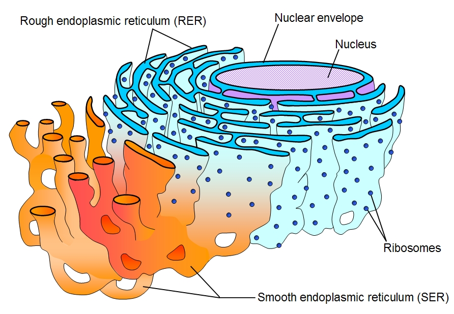 Labeled Model of a Cell Cell_er_labeled