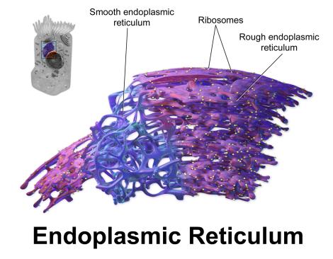 Blausen_0350_EndoplasmicReticulum.png