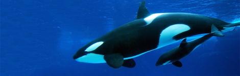fc2d426ce3f0454d8e8a49e553db955c_pic-sw-killer-whale-birth-care-05-940x300