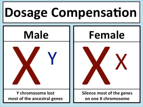 Dosage_compensation_mammals.jpeg
