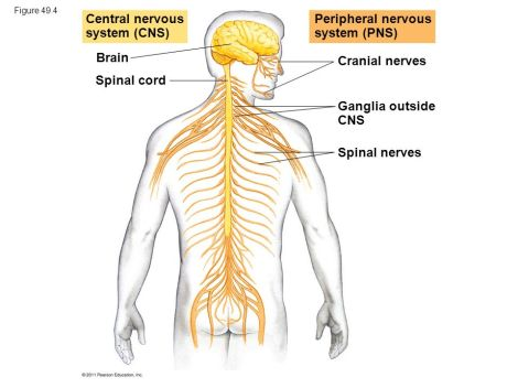 brain-clipart-central-nervous-system-868060-6156076.jpg